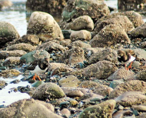 Turnstones camouflaged amongst the barnacle-covered rocks