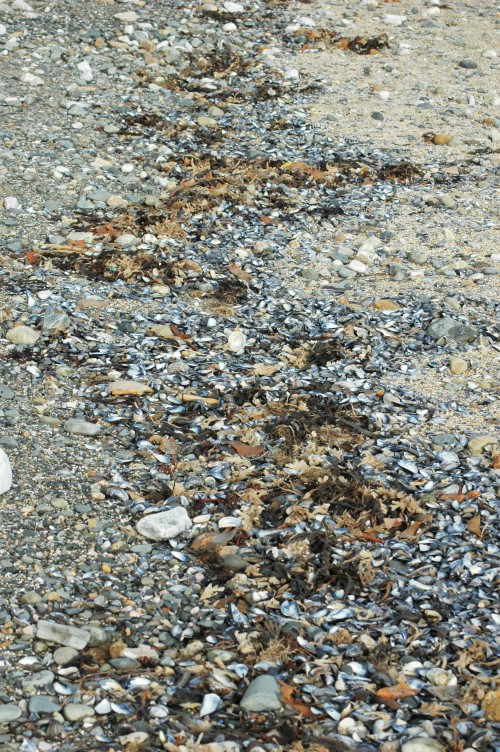 Mussel shells on the tide line of Rhos Harbour beach