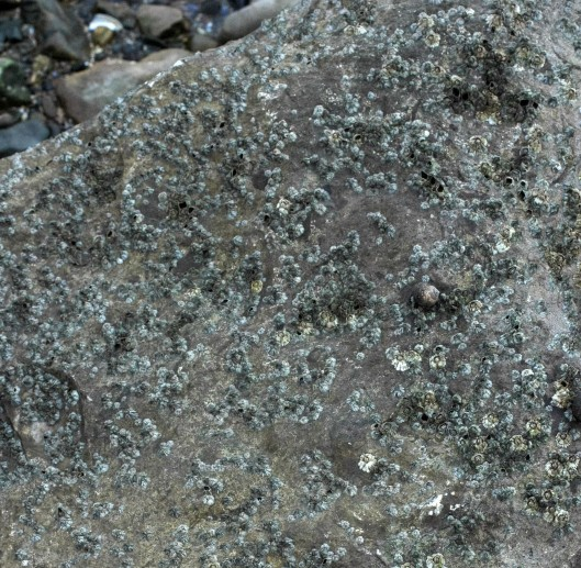 Barnacles and winkles cover the surface of a rock