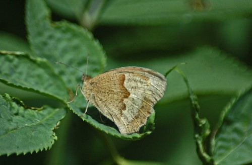 More usual view of a Meadow Brown underside