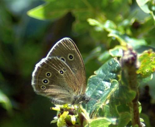 150710tg-Bryn Euryn-bfly-Ringlet in Oak tree