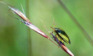 150710tg-Bryn Euryn-bug-Shield bug 1
