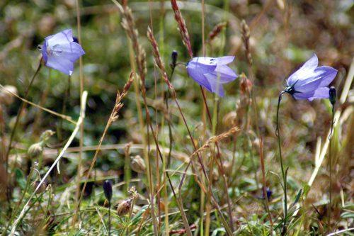 150710tg-Bryn Euryn-flwr-Harebells 1