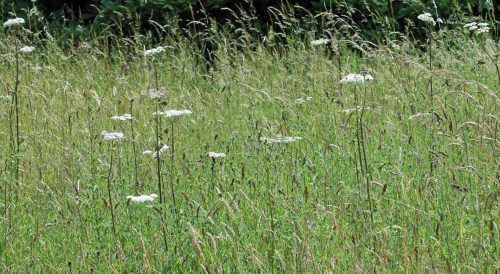 150710tg-Bryn Euryn-flwr&vw-hogweed in long grass