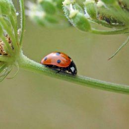 150712TG-Bryn Euryn-7-spot ladybird-Coccinella 7-punctata (3a)