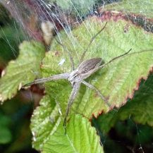 150712TG-Bryn Euryn-Adder's Field (10)-Nursery-web spider 1