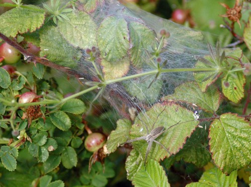 Nursery web spider on brambles