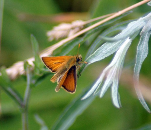 Small Skipper has orange-brown tips to antennae