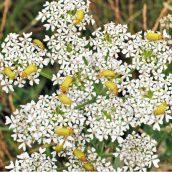 150712TG-Bryn Euryn-Adder's Field (15)-Small Sulphur beetles on hogweed 1