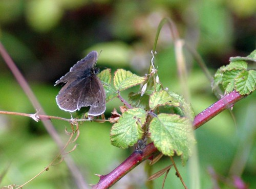 Ringlet butterfly on bramble leaf