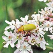150712TG-Bryn Euryn-Adder's Field (21)-Sulphur beetle on hogweed