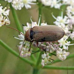 150712TG-Bryn Euryn-Adder's Field (22)-no ID beetle