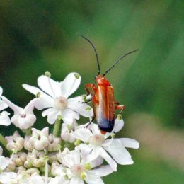 150712TG-Bryn Euryn-Adder's Field (24)-Red soldier beetle