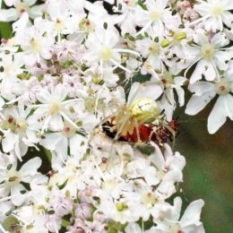 150712TG-Bryn Euryn-Adder's Field (26)-Crab spider dragging victim to edge of flower