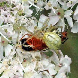150712TG-Bryn Euryn-Adder's Field (27)-Crab spider with victim 1