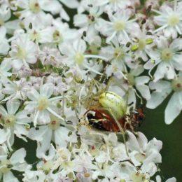 150712TG-Bryn Euryn-Adder's Field (28)-Spider crab securing victim