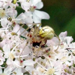 150712TG-Bryn Euryn-Adder's Field (29)-Crab Spider rear view