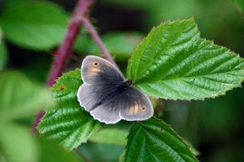 A dark coloured Meadow Brown