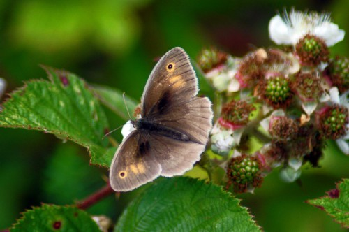 A lighter shaded Meadow Brown