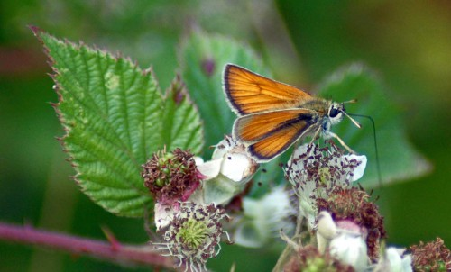 Small,or possibly Essex Skipper