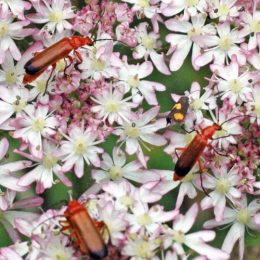 150712TG-Bryn Euryn-btl-Red soldier beetle-Rhagonycha fulva (3a)