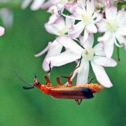 150712TG-Bryn Euryn-btl-Red soldier beetle-Rhagonycha fulva (7a)