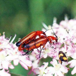 150712TG-Bryn Euryn-btl-Red soldier beetle-Rhagonycha fulva mating