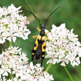 150712TG-Bryn Euryn-btl-Strangalia maculata (1a)