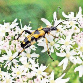 150712TG-Bryn Euryn-btl-Strangalia maculata (7a)