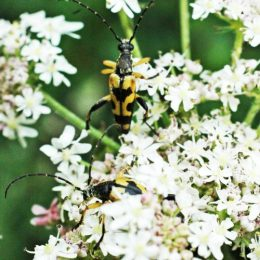 150712TG-Bryn Euryn-btl-Yellow & black beetles 1