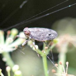 Tiny froghopper enlarged