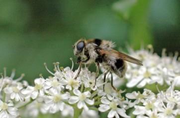 Hoverfly-cheilosa illustrata- a bee mimic