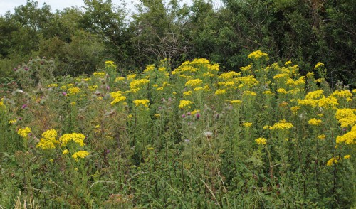Ragwort and thistles