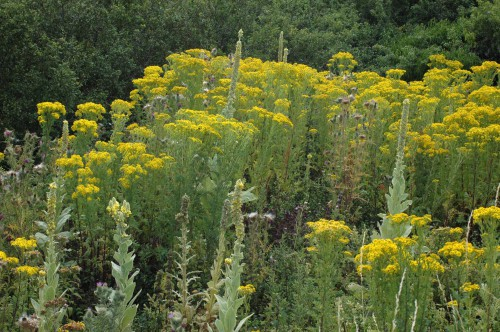 Ragwort and Mullein