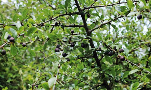 Purple sloes are swelling on Blackthorn