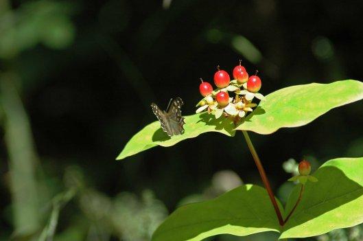 Speckled Wood & hypericum berries