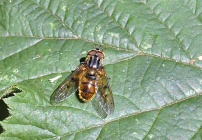 Hoverfly-ferdinandea cuprea