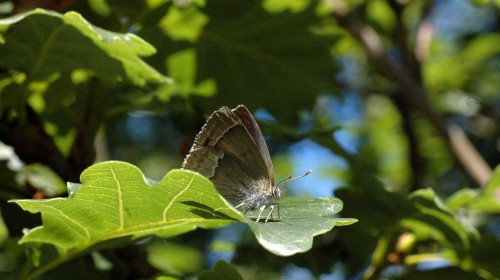 7/8/15 - Purple Hairstreak