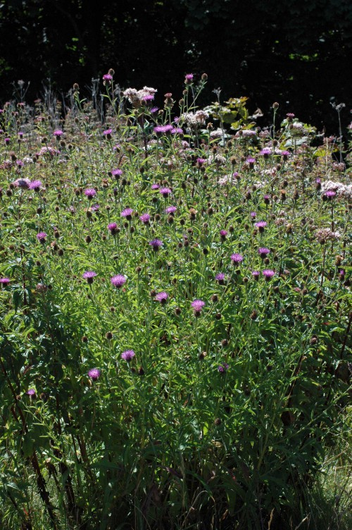 Knapweed and Hemp Agrmony