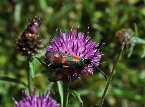 Burnet moth on knapweed
