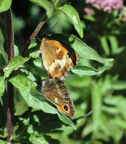 Mating Gatekeeper butterflies - female above male