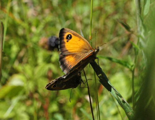A good opportnity to show the upperside of the female