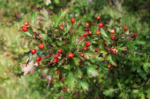 Haws are ripening and leaves beginning to take on colour