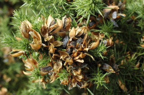 Gorse pods crackle as they open to release seeds