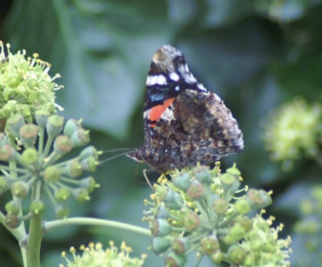 13/10/11-Red Admiral on ivy flowers