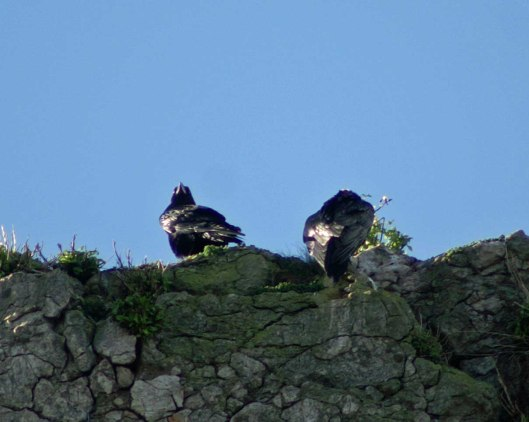 Raven pair in a favoured spot on the clifftop