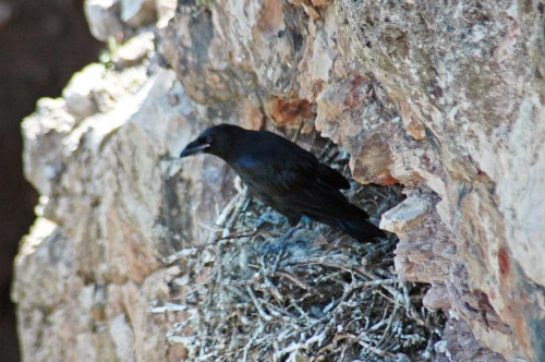 31/5/14-Young raven on the nest almost ready to leave