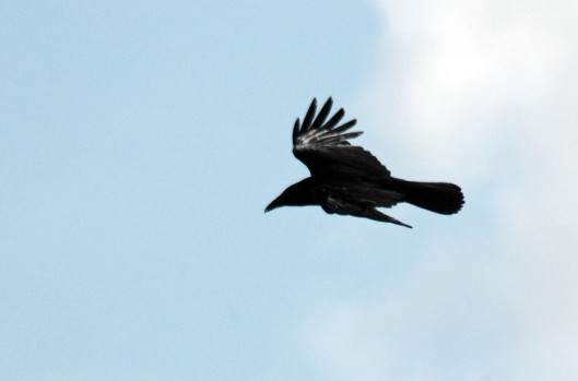 A flying raven showing the wedge-shaped tail and dead-mans fingers at wing tips
