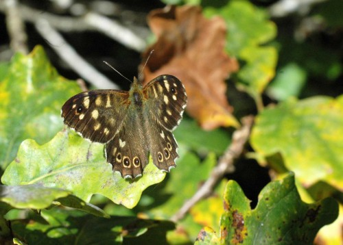 2/10/15-Speckled Wood on oak leaves