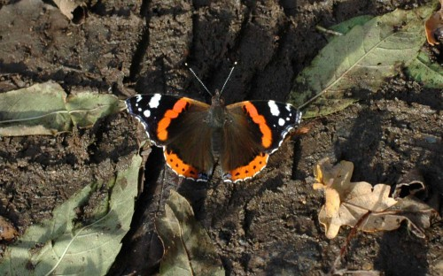 18/10/14-Red Admiral basking on a muddy woodland ride